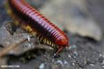 Madagascar Fire Millipede (Aphistogoniulus sp) [madagascar_perinet_0373]
