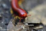 Madagascar Fire Millipede (Aphistogoniulus sp) [madagascar_perinet_0375]