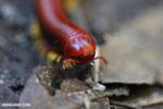 Madagascar Fire Millipede (Aphistogoniulus sp) [madagascar_perinet_0376]