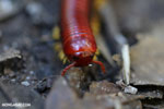 Madagascar Fire Millipede (Aphistogoniulus sp) [madagascar_perinet_0377]