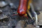 Madagascar Fire Millipede (Aphistogoniulus sp) [madagascar_perinet_0379]