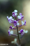 Flowers [madagascar_perinet_0392]