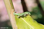 Lined Day Gecko (Phelsuma lineata chloroscelis) [madagascar_perinet_0402]