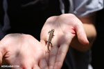 Brookesia chameleon