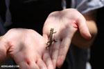 Brookesia chameleon [madagascar_perinet_0409]