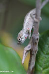 Baby Calumma nasutum chameleon covered in red mites