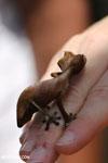 Satanic Leaf-tail Gecko (Uroplatus phantasticus) [madagascar_perinet_0434]