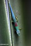 Lined Day Gecko (Phelsuma lineata chloroscelis) [madagascar_perinet_0471]