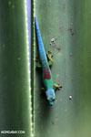 Lined Day Gecko (Phelsuma lineata chloroscelis) [madagascar_perinet_0474]