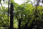 Fern in Madagascar [madagascar_perinet_0480]