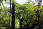 Fern in Madagascar [madagascar_perinet_0481]