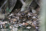 Madagascar Nightjar (Caprimulgus madagascariensis) [madagascar_perinet_0482]