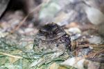 Madagascar Nightjar (Caprimulgus madagascariensis) [madagascar_perinet_0483]