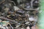 Madagascar Nightjar (Caprimulgus madagascariensis) [madagascar_perinet_0492]