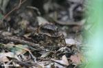 Madagascar Nightjar (Caprimulgus madagascariensis) [madagascar_perinet_0493]