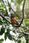 Female Madagascar paradise flycatcher [madagascar_perinet_0496]