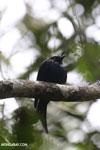 Crested drongo [madagascar_perinet_0505]