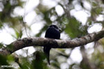 Crested drongo [madagascar_perinet_0506]
