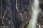 Malagasy scops owl (Otus rutilus)