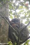 Eastern woolly lemur (Avahi laniger)