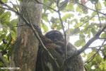 Eastern woolly lemur (Avahi laniger) [madagascar_perinet_0519]