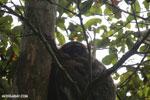 Gmelin's woolly lemur