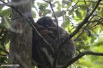 Gmelin's woolly lemur (Avahi laniger)