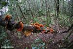 Orange Bracket fungus in Madagascar [madagascar_perinet_0524]
