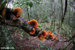 Orange Bracket fungus in Madagascar [madagascar_perinet_0527]