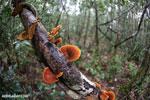 Orange Bracket fungus in Madagascar [madagascar_perinet_0528]