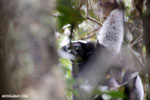 The Indri, the largest lemur