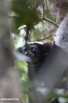 The Indri, Madagascar's largest lemur