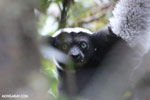 The Indri, Madagascar's largest lemur [madagascar_perinet_0541]