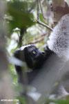 Indri (Indri indri) [madagascar_perinet_0544]