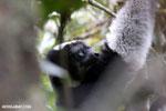 Indri lemur [madagascar_perinet_0547]