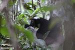 The Indri, Madagascar's largest lemur [madagascar_perinet_0549]