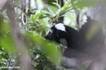 The Indri, Earth's largest lemur [madagascar_perinet_0550]