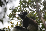 Indri (Indri indri) [madagascar_perinet_0552]