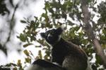 Indri [madagascar_perinet_0553]