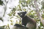 Indri lemur [madagascar_perinet_0555]