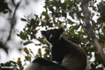 The Indri, the largest lemur [madagascar_perinet_0556]