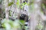 The Indri, Madagascar's largest lemur [madagascar_perinet_0557]