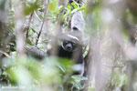 The Indri, Earth's largest lemur [madagascar_perinet_0558]