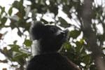 Indri (Indri indri) [madagascar_perinet_0560]