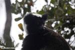 Indri lemur [madagascar_perinet_0563]