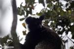 Indri (Indri indri) [madagascar_perinet_0564]