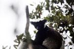 Indri lemur [madagascar_perinet_0567]