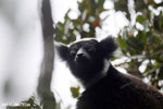 The Indri, the largest lemur [madagascar_perinet_0568]