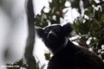 The Indri, Madagascar's largest lemur [madagascar_perinet_0569]