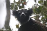 The Indri, Earth's largest lemur [madagascar_perinet_0570]